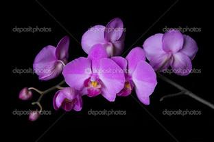орхидея цвета фуксии на чёрном