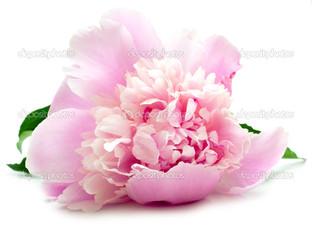 пион розовый на белом