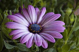 фиолетовый ромашка