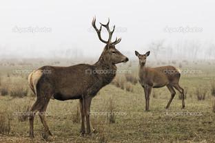 два оленя на природе