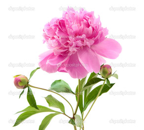 цветение пиона