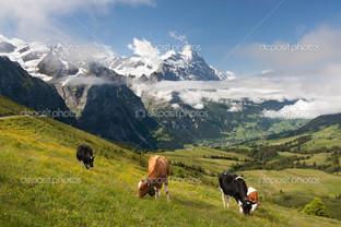 альпийские коровы