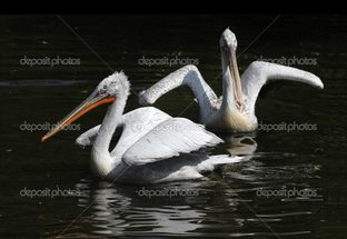 два пеликана