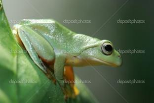 зелёная лягушка