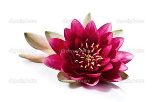 цветок лотоса яркий