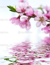 розовая сакура и вода