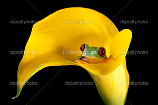 лягушка в лилии